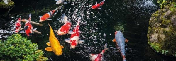 koi, koikarp, guldfisk, dammfiskar