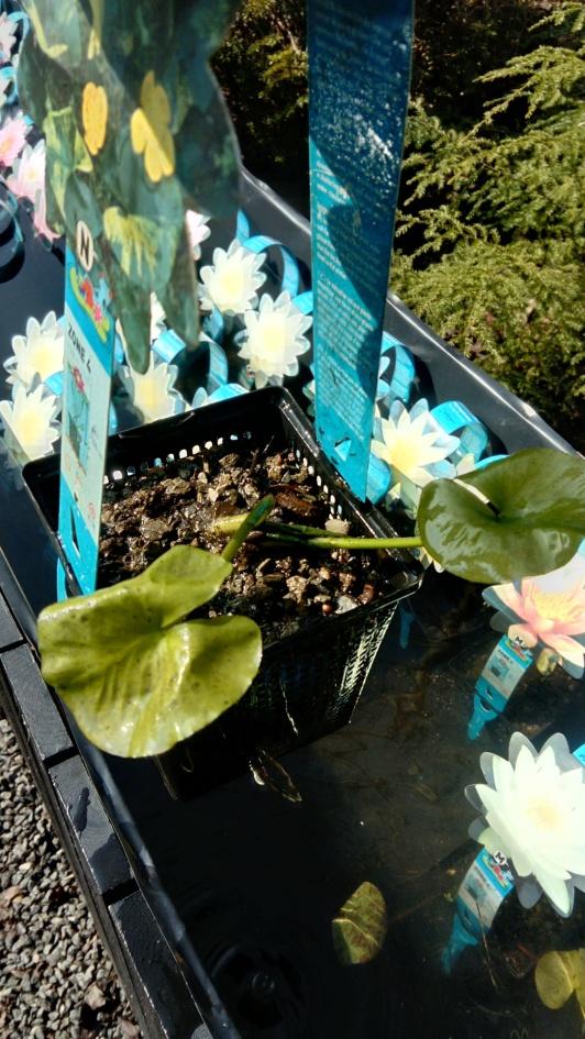 näckrosor, vattenväxter, dammväxter stort utbud ,