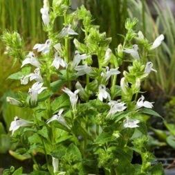 dammväxter vattenväxter vit vattenlobelia trädgårdsdamm