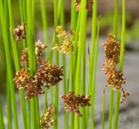 vattenväxter dammväxter veketåg trädgårdsdamm
