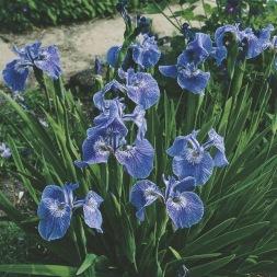dammväxter vattenväxter iris setosa trädgårdsdamm