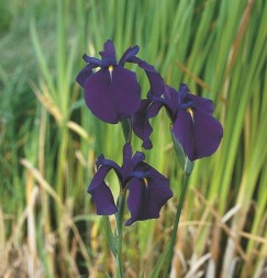 dammväxter vattenväxter Japansk iris kaempferi