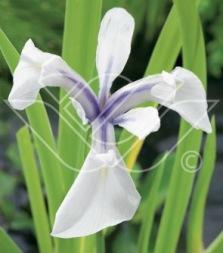 dammväxter vattenväxter glansiris trädgårdsdamm
