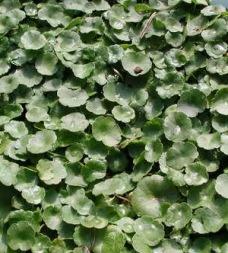 vattenväxt dammväxt spikblad