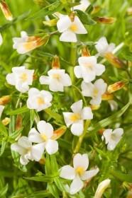 vattenväxter dammväxter jordgalla