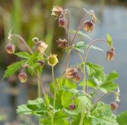 vattenväxt humleblomster trädgårdsdamm näckros