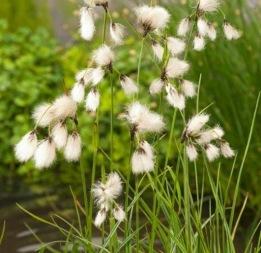 vattenväxt ängsull trädgårdsdamm näckros oase