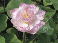 tropisk näckros Lotus blomma vattenväxter