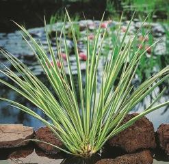 Vattenväxtet kalamus trädgårdsdamm näckrosor