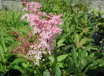 dammväxter Älggräs , Filipendula rubra