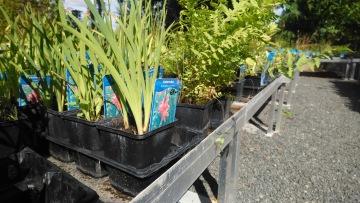 vattenväxter , dammväxter önnestad