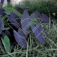 tropiska vattenväxter, vattenväxter vinterträdgård.sumpväxter dammväxter önnestad