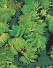 vatenväxt moss bräken flytväxt