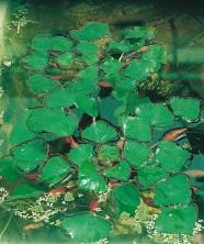 flytväxter dammväxter vattenväxter sjönöt