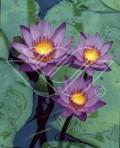 Lotus näckros