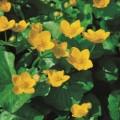 tropisk näckros lotusblommor dammväxter stort sortiment