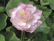 lotus tropisk näckros dammväxt vattenväxt vattenrenande
