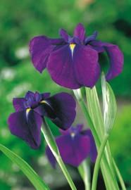 Vattenväxt iris