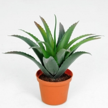 Baby agave 30 cm