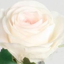 7128 rose cream pink 6 pack