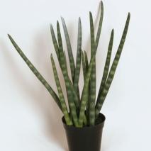 Sanseveria 90 cm