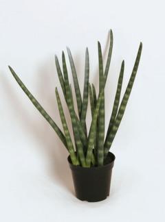 Sanseveria 90 cm - Sanseveria 90 cm