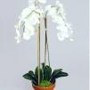 Phalaenopsis 65cm