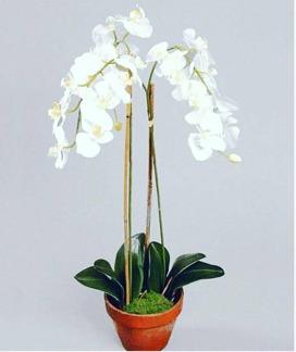 Phalaenopsis 65cm -
