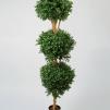 Hög Boxwood buske 170 cm
