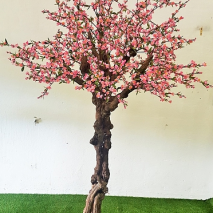 Körsbärsträd med äkta flätad stam. 300cm
