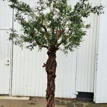 Oliv träd med Grapewood stam 275cm