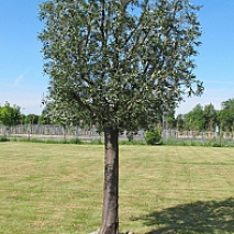 Oliv träd med äkta stam 450cm