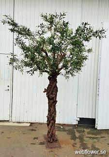 Oliv träd med Grapewood stam 275cm -