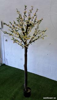 Körsbärsträd med äkta stam 180cm -