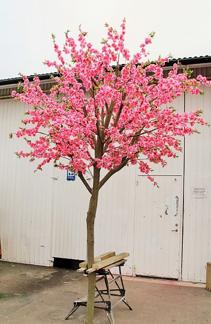 Körsbärsträd med äkta stam 350cm - Styckpris
