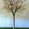 Vitt Körsbärsträd med äkta stam 350cm