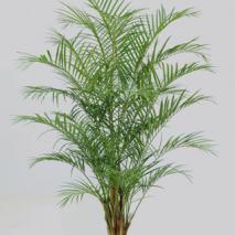 Arecapalmbuske 230cm