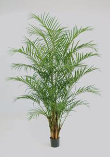 Arecapalmbuske 230cm -