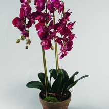 Färgstark Phalaenopsis 75cm