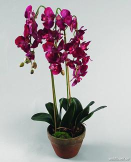 Färgstark Phalaenopsis 75cm -