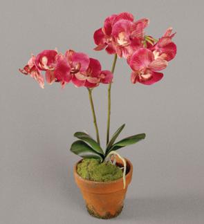Färgstark Orkidè Phalanopsis -