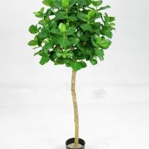 Clusia träd 110 cm