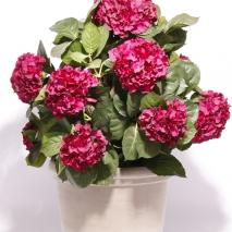 Hortensia (Hydrangena)