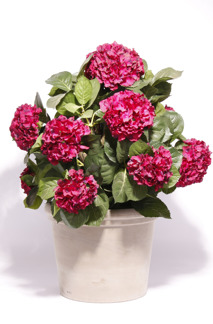 Hortensia (Hydrangena) -