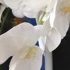 Vacker Phalaenopsis 110cm