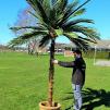 Daddel Date Jate Palm 300cm