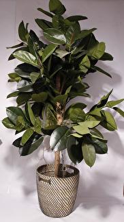 Ficus Robusta 170cm -