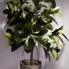 Ficus Robusta 170cm
