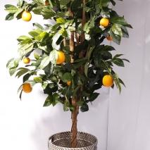 Apelsinträd Golden 170 cm