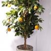 Apelsinträd Golden 170 cm - 1-pack